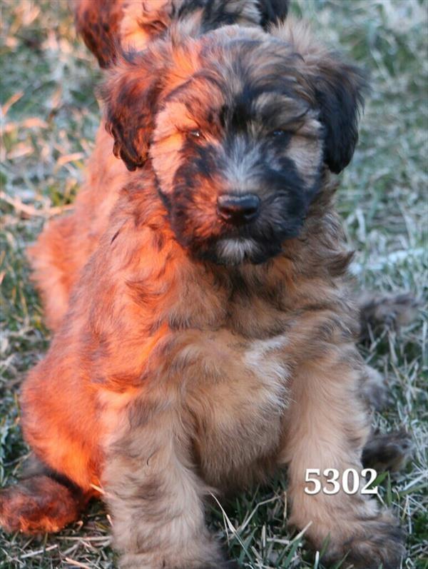 Male Soft Coated Wheaten Terrier
