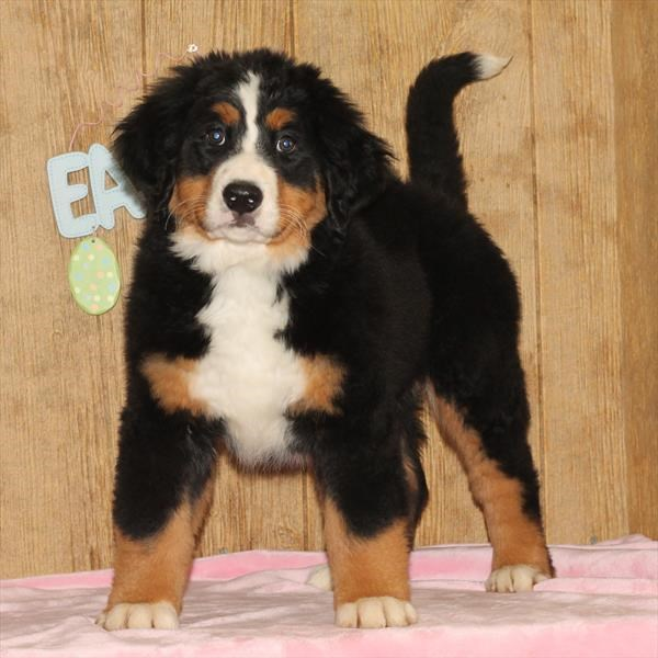 Female Bernese Mountain Dog