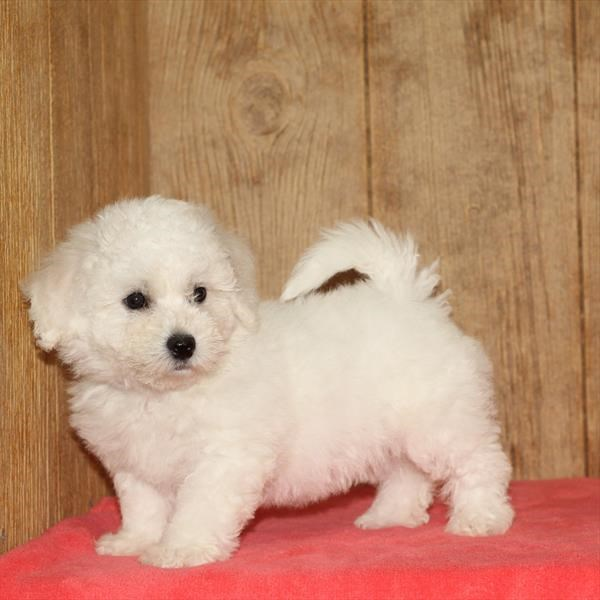 Female Bichon Frise
