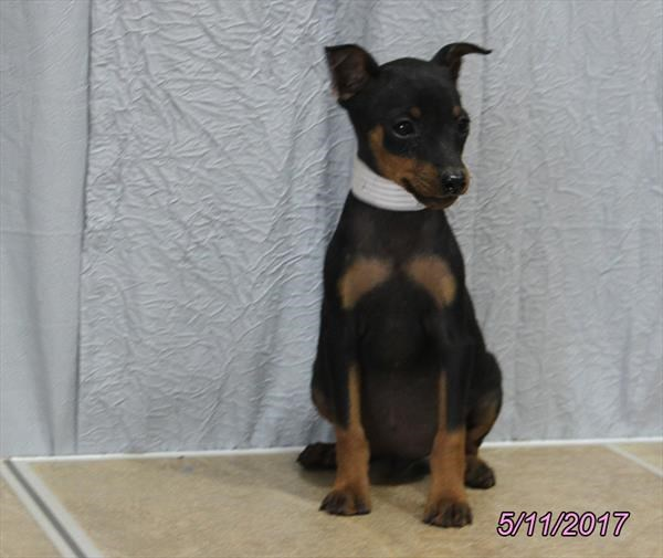 Male Miniature Pinscher