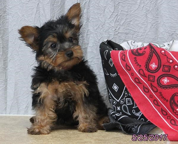 Male Yorkshire Terrier