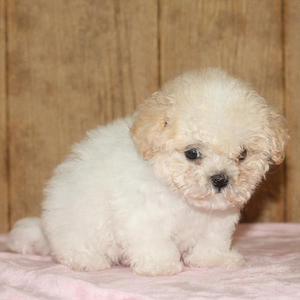 Female Bichapoo
