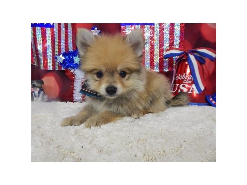 Pomeranian-DOG-Male-Orange Sable-1834548