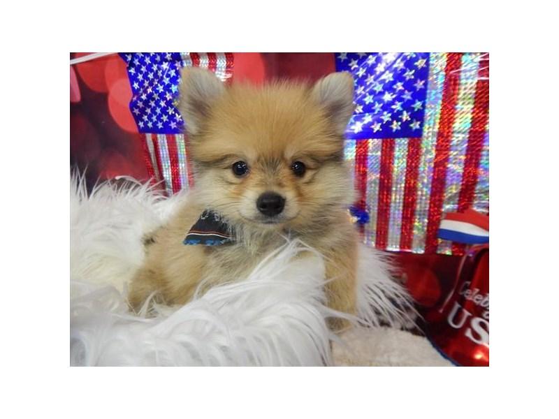Pomeranian-DOG-Male-Orange Sable-1834548-img3