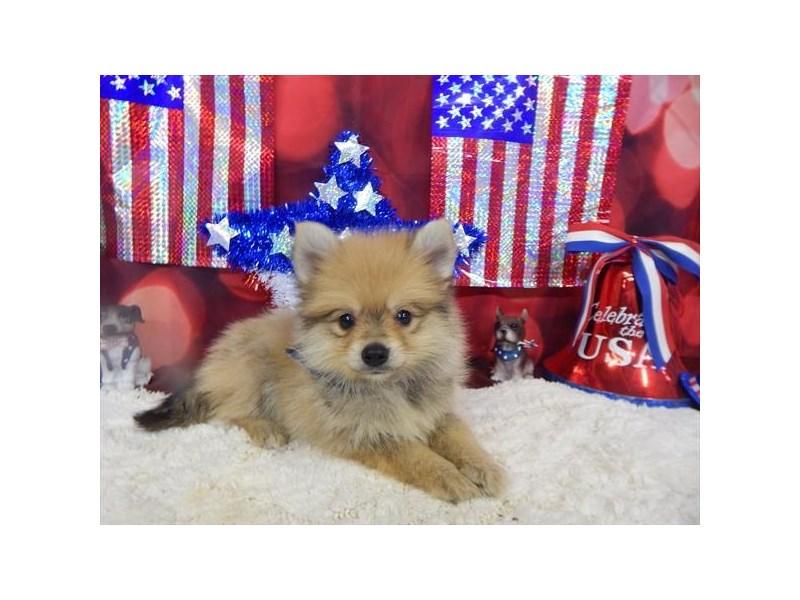Pomeranian-DOG-Male-Orange Sable-1834548-img4