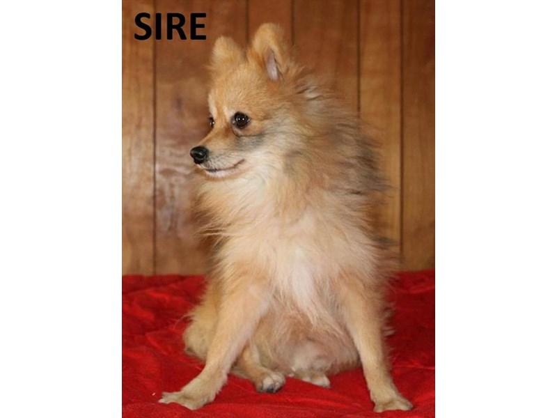 Pomeranian-DOG-Male-Orange Sable-1834548-img5