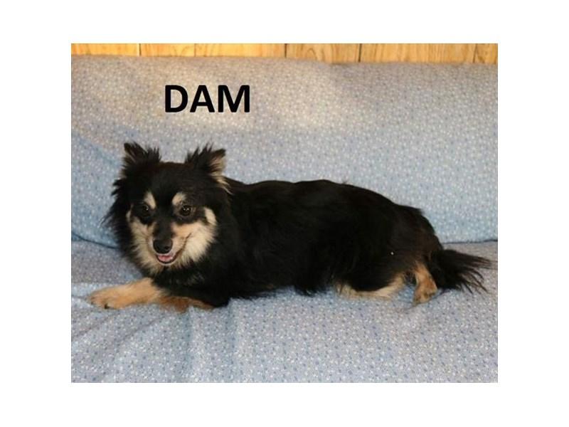Pomeranian-DOG-Male-Orange Sable-1834548-img6