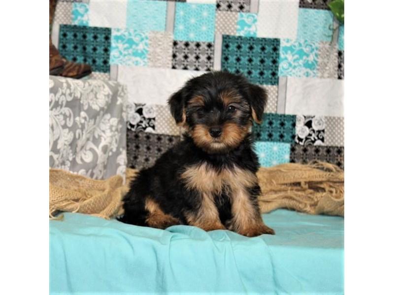 Yorkshire Terrier-DOG-Male-Black / Tan-1839795