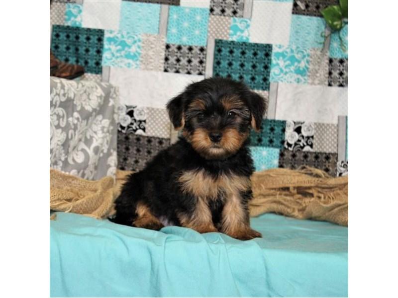 Yorkshire Terrier-DOG-Male-Black / Tan-1839795-img2