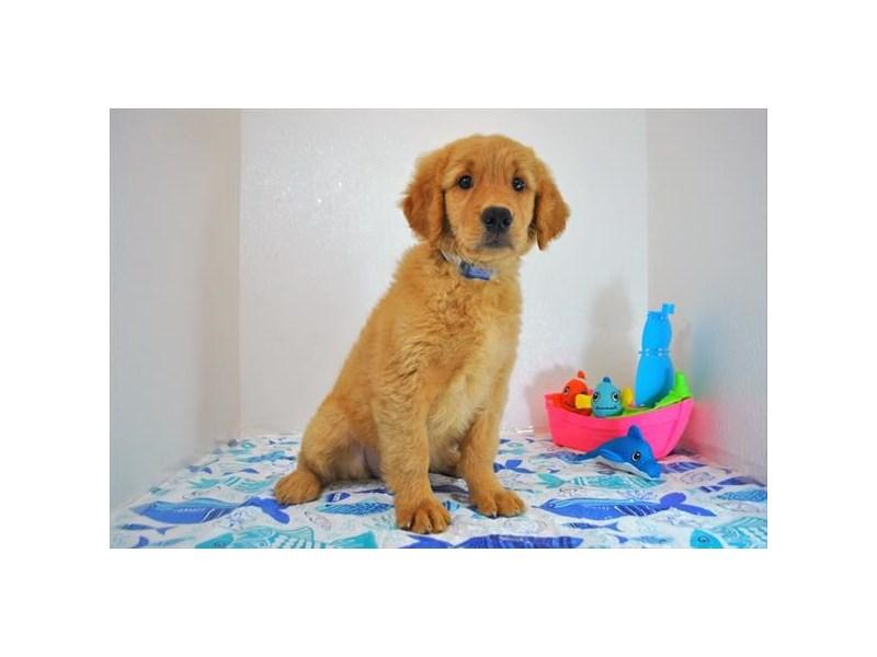 Golden Retriever-DOG-Female-Dark Golden-1839935