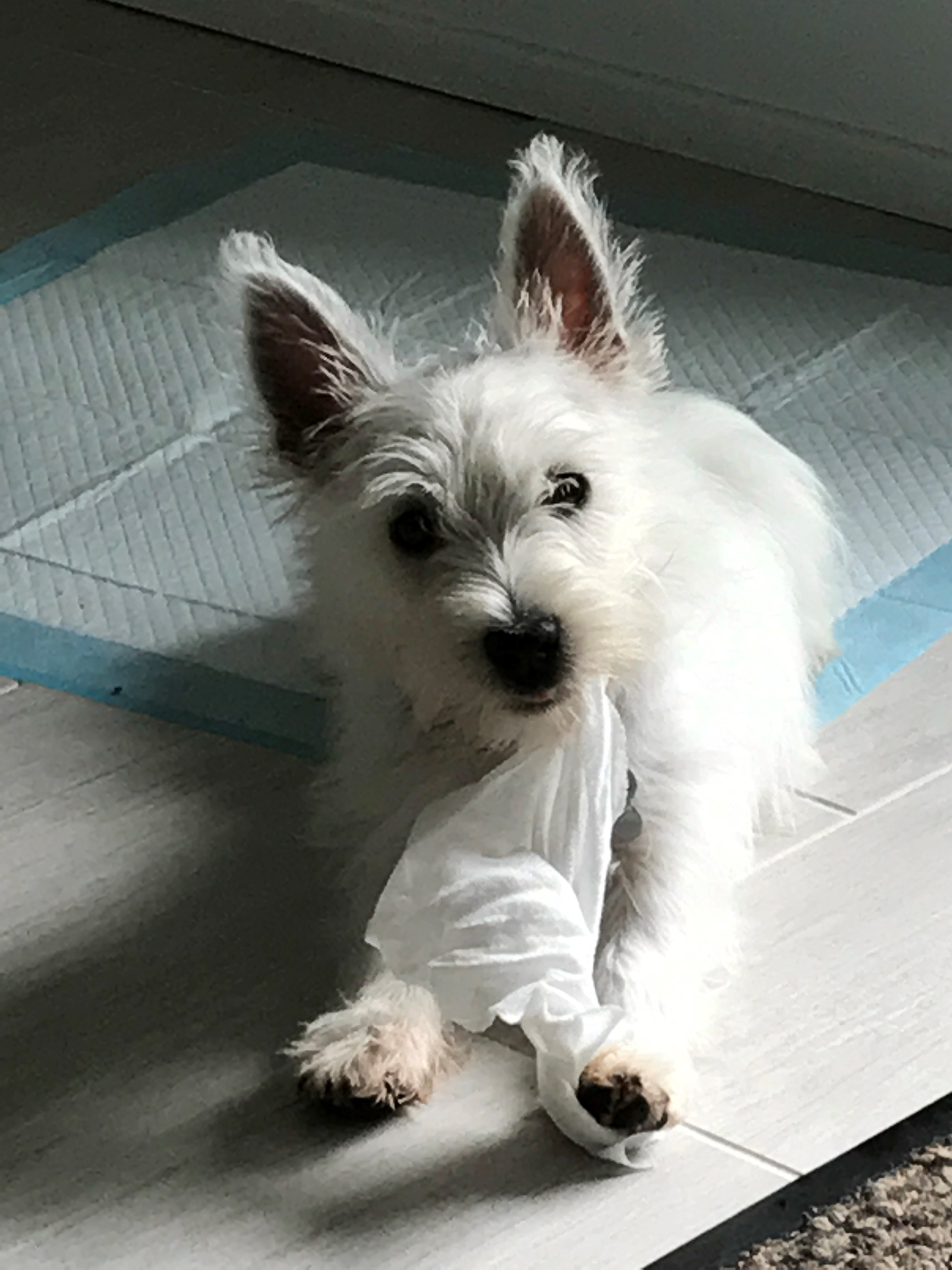 Female West Highland White Terrier