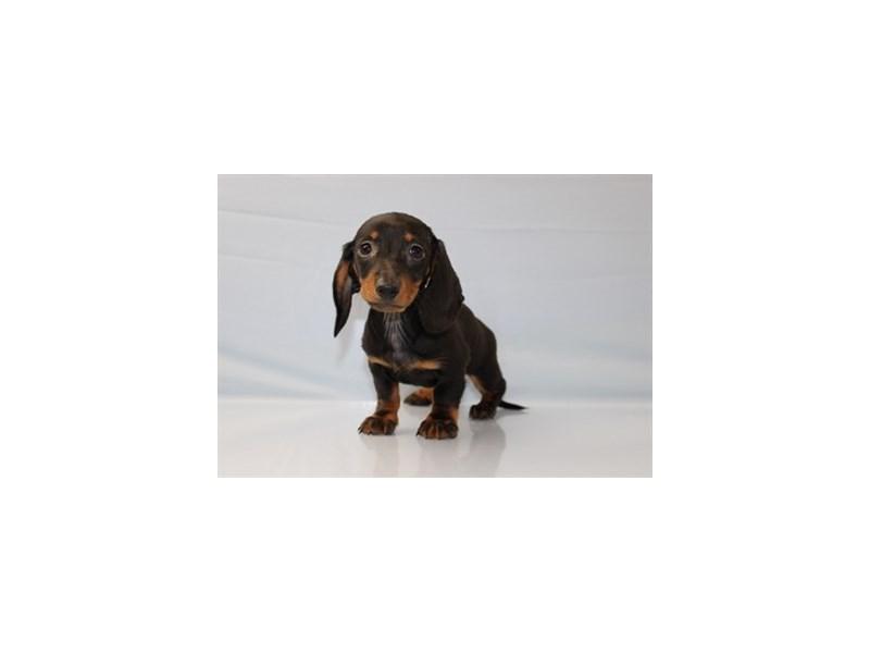 Dachshund-DOG-Male-Black and Tan-1844910