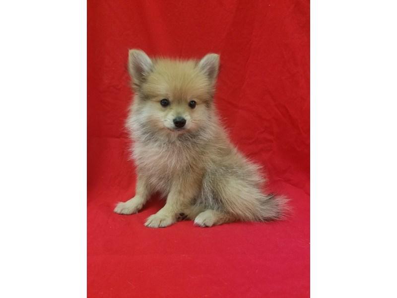 Pomeranian-DOG-Male-Orange Sable-1834548-img7