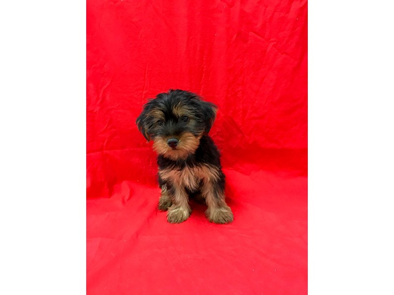 Yorkshire Terrier-DOG-Male-Black / Tan-1839795-img3