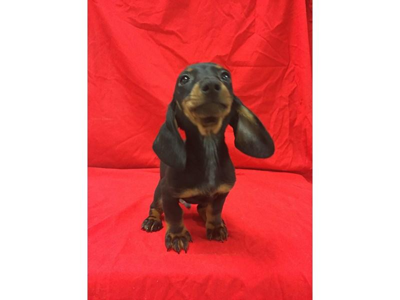 Dachshund-DOG-Male-Black and Tan-1844910-img2