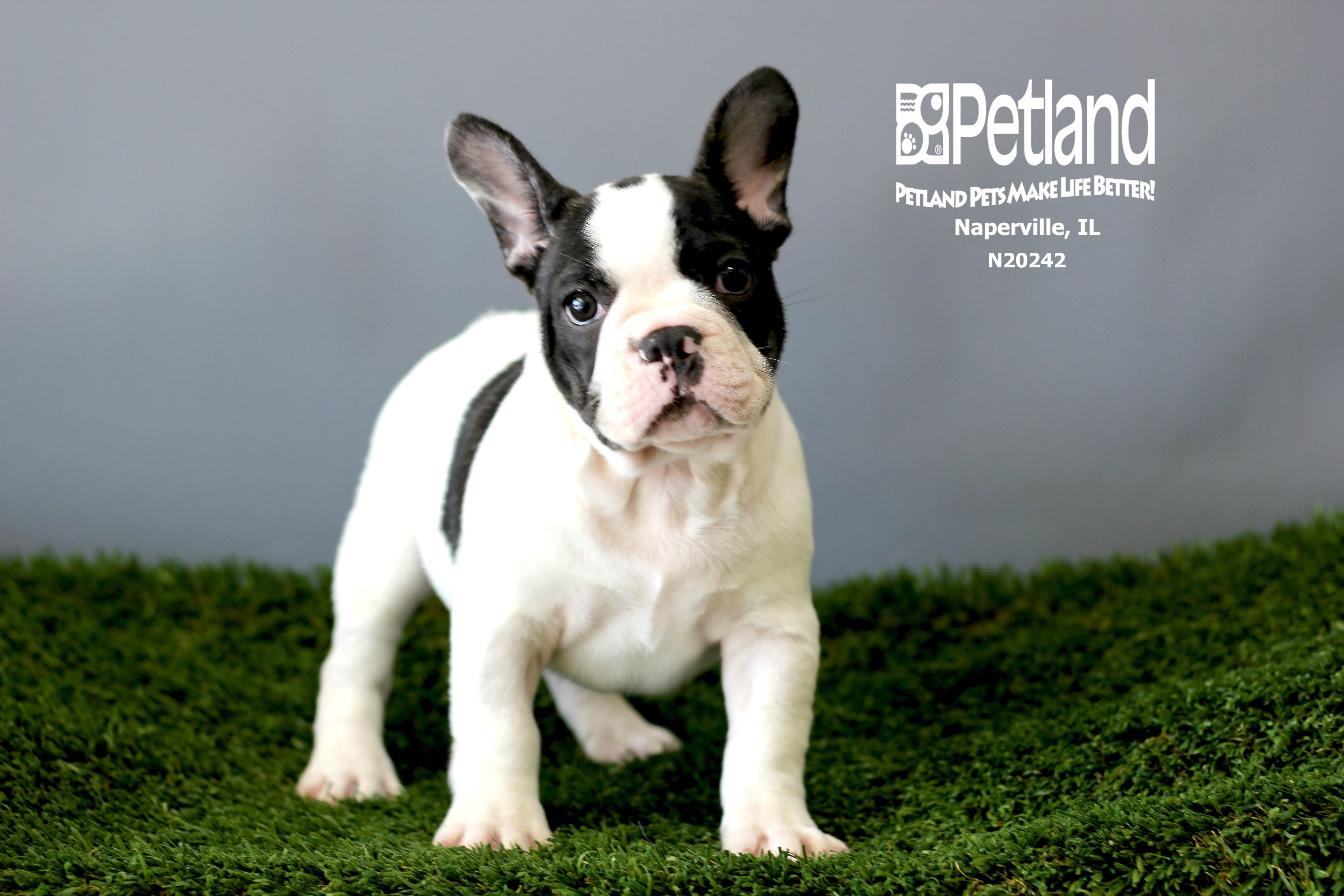 French Bulldog Petland Naperville